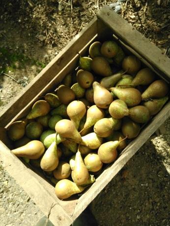 Les poires de Pouy